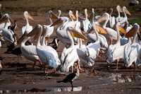Great White Pelican Flock