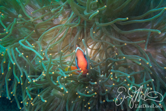 Anemonefish in Teal Anemone